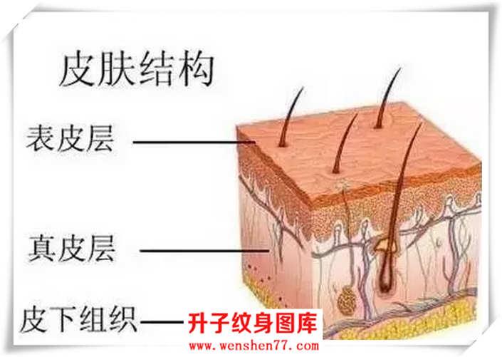 首先看一下我们人体皮肤结构图